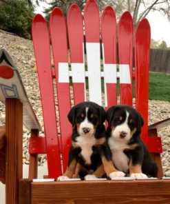 Swiss army ski chair with puppies